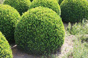 Особенности растения самшит