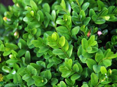 Самшит вечнозеленый – растение с уникальными декоративными свойствами