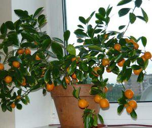 Размножение мандаринового дерева