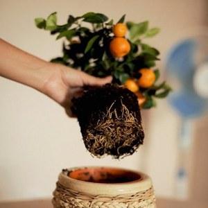 Как вырастить мандариновое дерево в домашних условиях