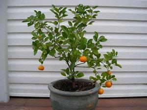 Мандариновое дерево: пересадка и уход за растением