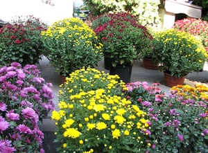 Хризантемы кустовые на садовом участке