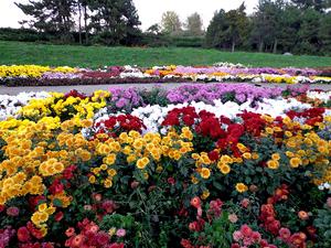 Вид цветов хризантем