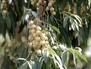 Применение плодов лоха серебристого