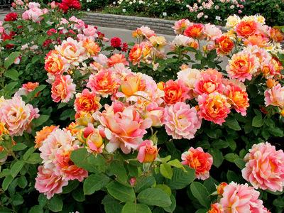 Розы Шрабы описание, уход и сорта