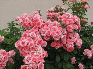 Розы шрабы - что это такое, описание