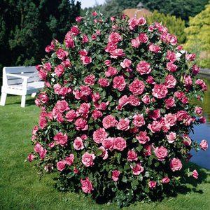 Розы шрабы -   описание