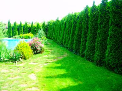 Быстрорастущие деревья для дачи