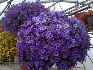 Цветок Калибрахоа