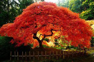 клен японский фото и описание