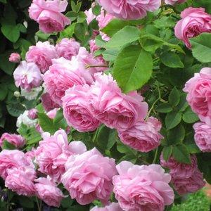 Особенности парковой розы