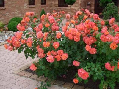 Парковые розы: описание, популярные виды, советы по уходу [2019]