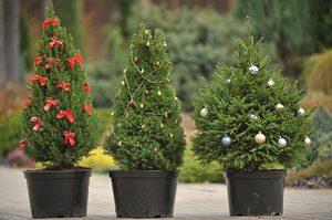 Выбор сорта елки
