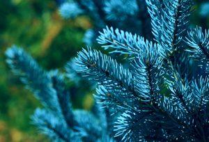 Лучшие сорта голубой ели: посадка и уход