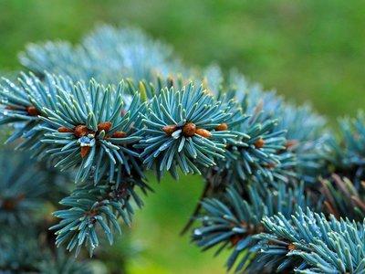 Как вырастить голубую ель: посадка и уход за голубой красавицей