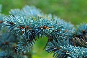 Сорта голубой ели