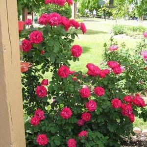 Виды канадских роз