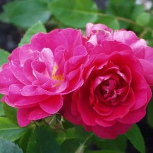 Канадская роза- парковая
