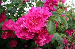 Удобрения для канадской розы