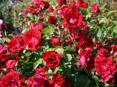Канадские розы саженцы для посадки и уход: фото