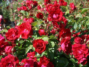 Посадка канадской розы