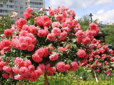 Плетистые розы — правила посадки, выращивания и ухода – Дачные дела
