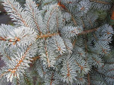 Купить Ель колючая Глаука Picea pungens Glauca