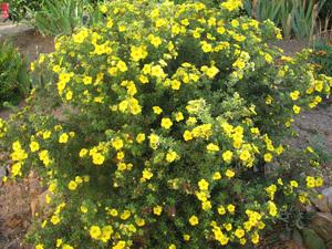 Как посадить кустарниковую лапчатку