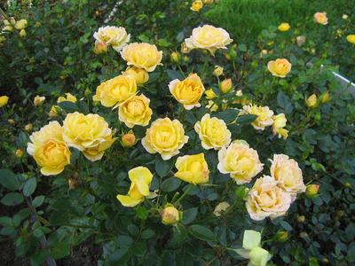 Полиантовые розы 41 фото особенности и описание сортов Как вырастить розы из семян в домашних условиях Тонкости посадки и ухода
