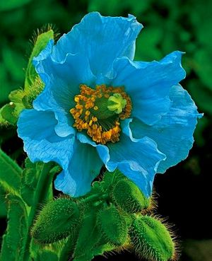 Голубой гималайский мак