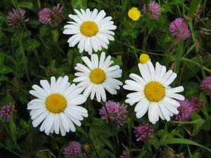 Цветок нивяник