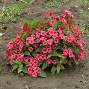 Вейгела цветущая - разные виды кустарника