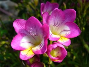 Нежный цветок фрезия