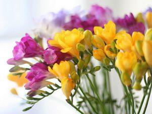 Как посадить цветок фрезию