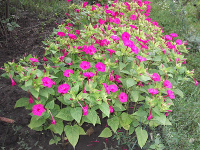 Цветок мирабилис ночная красавица