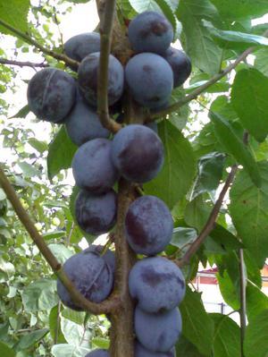 Посадка фруктовых деревьев в грунт