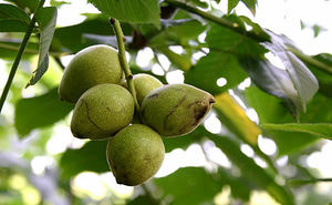 Как посадить маньчжурский орех