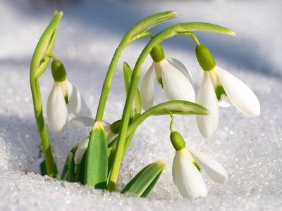Как называются первые весенние цветы: 28 первоцветов