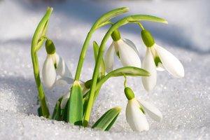 Подснежник — самый ранний цветок