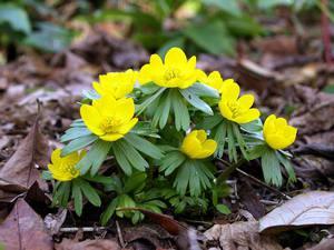 Цветок Эрантис