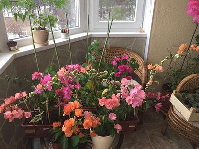 Бугенвиллия: виды с фото, уход и содержание в квартире