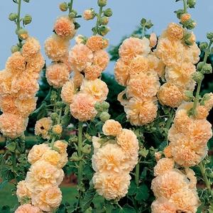 Шток роза посадка и уход в открытом грунте осенью