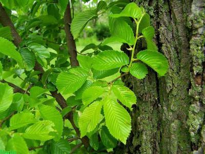 Древесина вяза свойства и применение