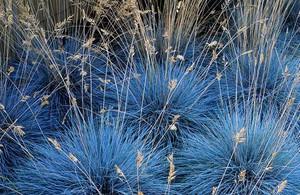 Овсяница ледниковая синичка выращивание из семян