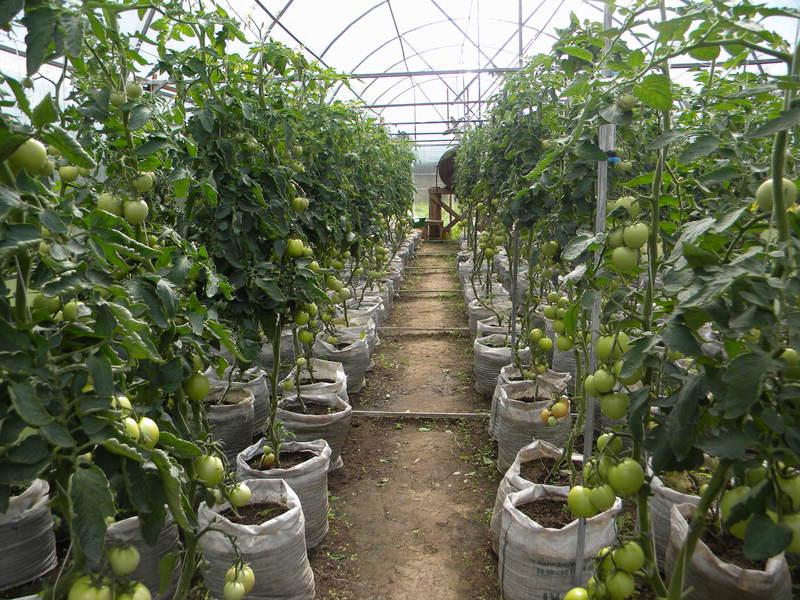 Посадка и требуемый уход за рассадой томатов