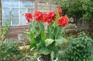 Посадка цветка канна в саду