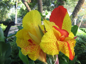 Разнообразие оттенков цветка канна