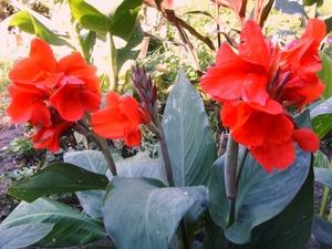 Правильный уход за цветком канна