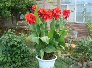 Особенности выращивания цветка канна
