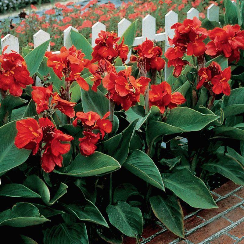 Преимущества выращивания цветка канна